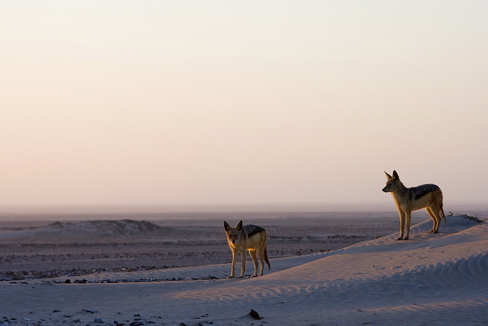 Black-backed jackals (Canis mesomelas), Skeleton Coast, Namibia, Africa