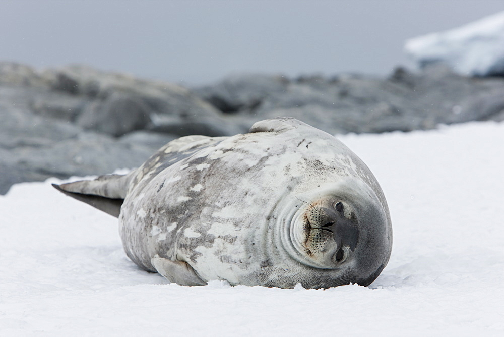 Weddell seal (Leptonychotes weddellii), Commonwealth Bay, Antarctica, Polar Regions