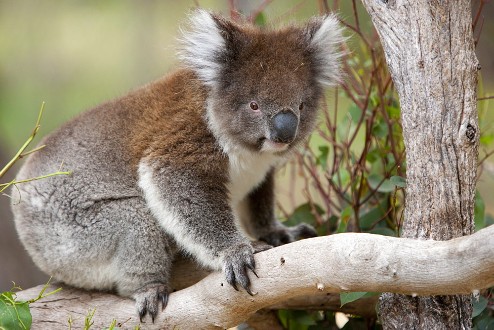 Koala (Phascolarctos cinereus) in a eucalyptus tree, Yanchep National Park, West Australia, Australia, Pacific