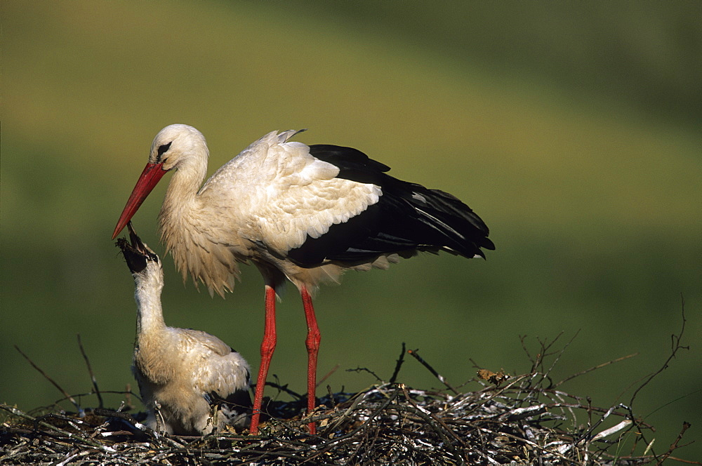 White Stork, (Ciconia ciconia), Joessen, NRW, Germany
