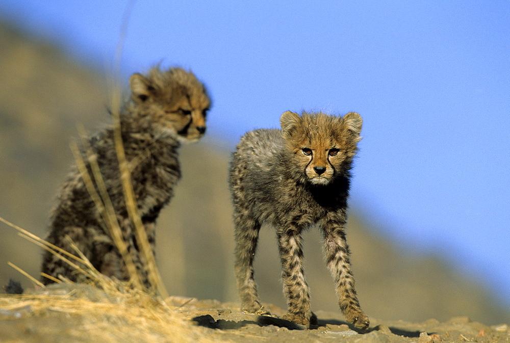 Cheetah cubs, Acinonyx jubatus, Duesternbrook Private Game Reserve, Windhoek, Namibia, Africa