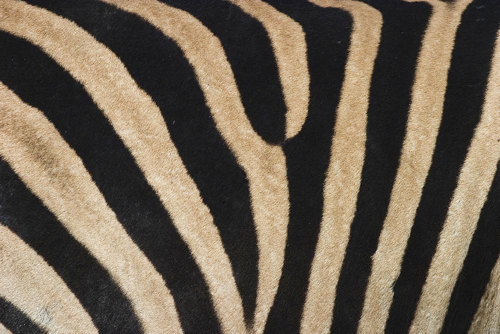 Plains zebra, Burchell's zebra, Equus burchellii, Khwai River, Botswana, Africa - 748-422
