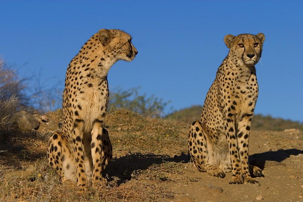 Cheetah, Acinonyx jubatus, Duesternbrook Private Game Reserve, Windhoek, Namibia, Africa