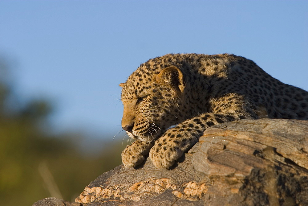 Leopard, Panthera pardus, Windhoek, Namibia, Africa