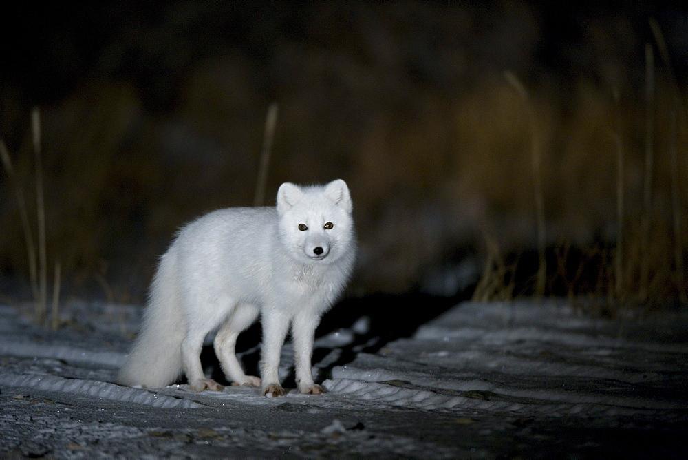 Arctic fox, Alopex lagopus, Churchill, Manitoba, Canada, North America