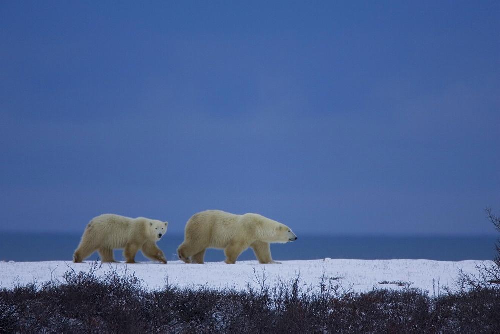 Polar bear with a cub, Churchill, Manitoba, Canada, North America