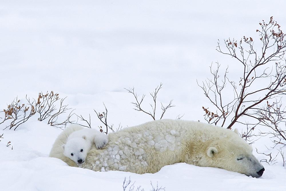 Polar Bear with cubs, Churchill, Manitoba, Canada