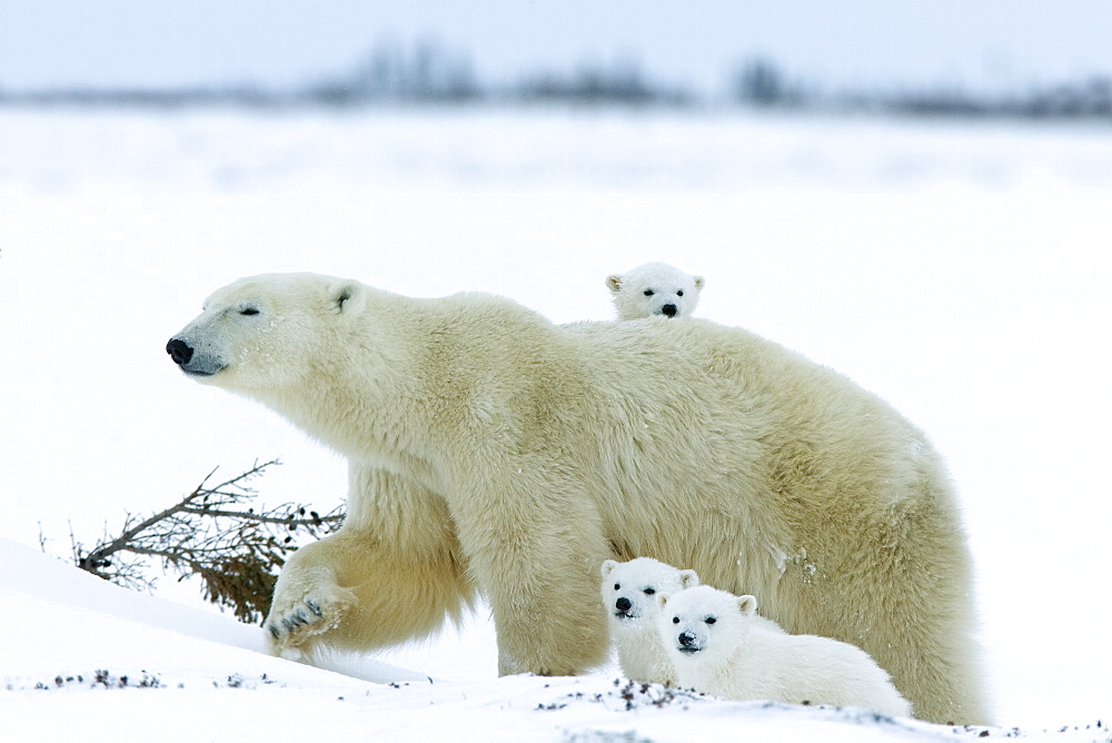 Polar bear (Ursus maritimus) mother with triplets, Wapusk National Park, Churchill, Hudson Bay, Manitoba, Canada, North America - 748-552