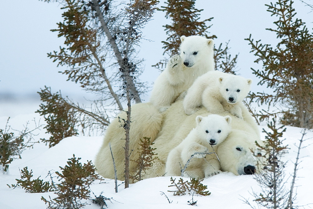 Polar bear (Ursus maritimus) mother with triplets, Wapusk National Park, Churchill, Hudson Bay, Manitoba, Canada, North America - 748-579
