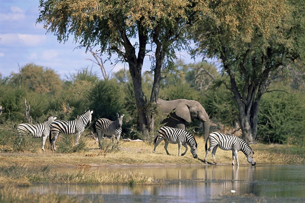 Elephant and zebras at the Khwai river, Moremi Wildlife Reserve, Botswana, Africa