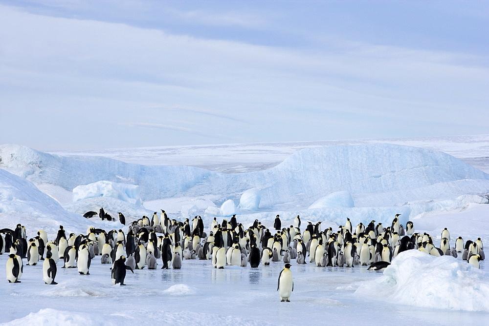 Emperor penguin colony (Aptenodytes forsteri), Snow Hill Island, Weddell Sea, Antarctica, Polar Regions  - 748-639