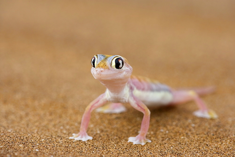 Webfooted gecko (Palmatogecko rangei), Namib Desert, Namibia, Africa - 748-848