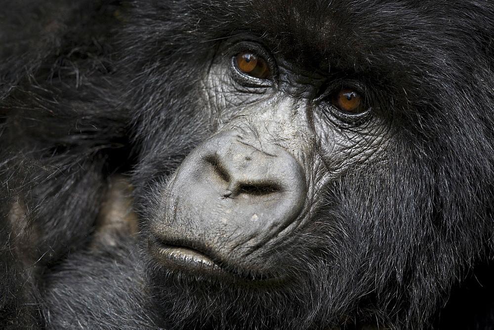 Mountain gorilla (Gorilla gorilla beringei), Kongo, Rwanda, Africa - 748-857
