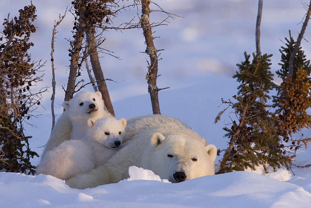 Polar Bear with cubs, (Ursus maritimus), Churchill, Manitoba, Canada - 748-86