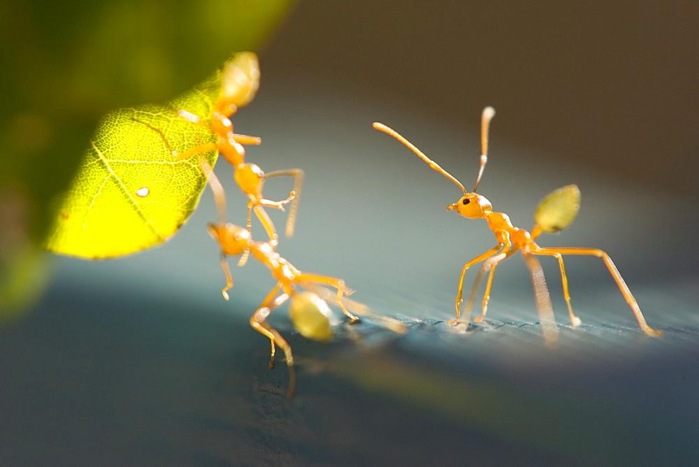 Ants, (Formicidea), Magnetic Island, Queensland, Australia - 748-9