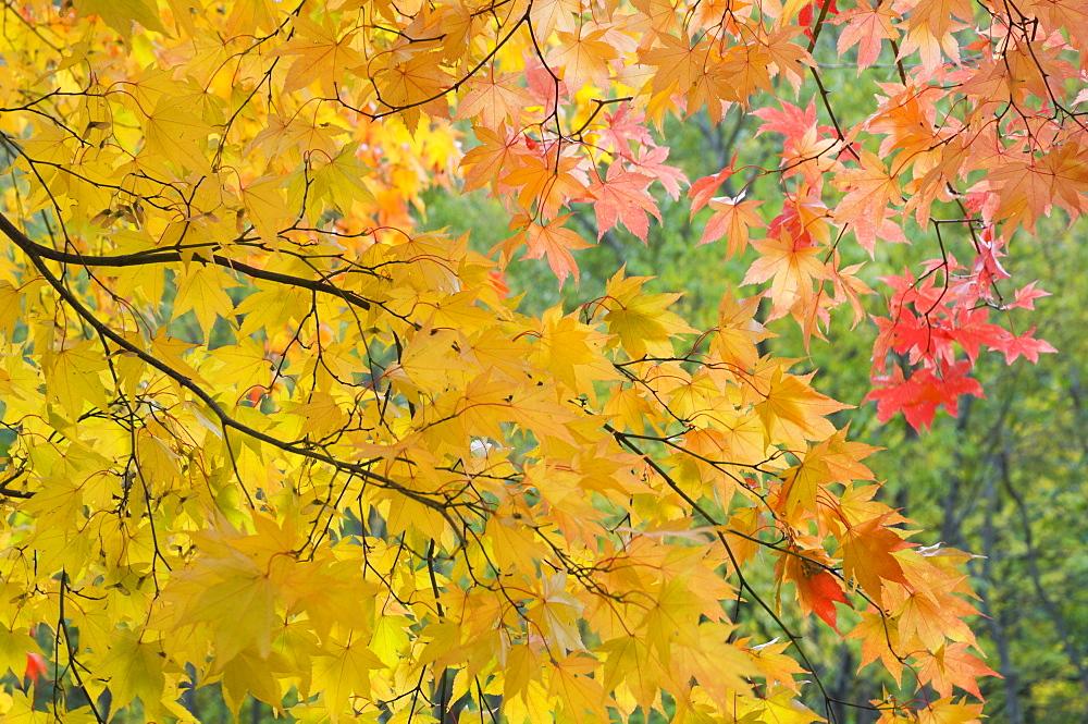 Maple tree, Daisetsuzan National Park, Hokkaido, Japan, Asia - 756-1022