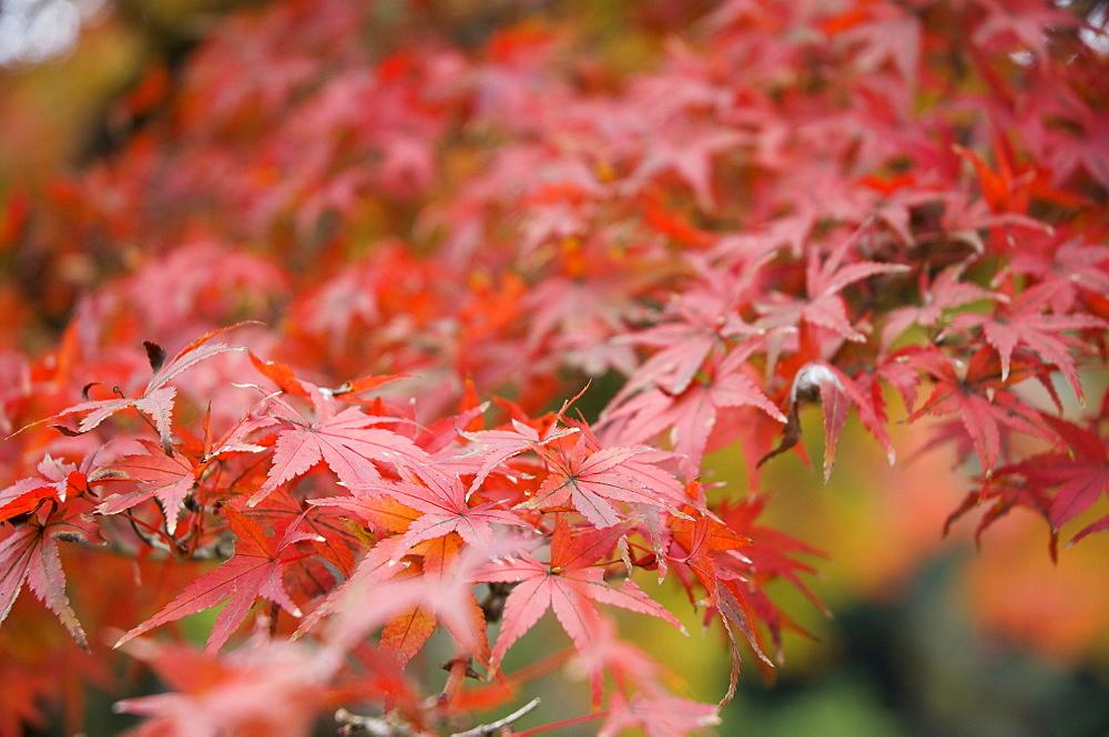 Japanese maple, Kamakura, Central Honshu (Chubu), Japan, Asia