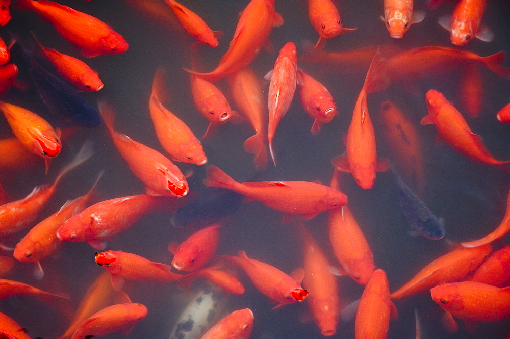 Goldfish in pond, Beihai Park, Beijing, China, Asia - 756-110