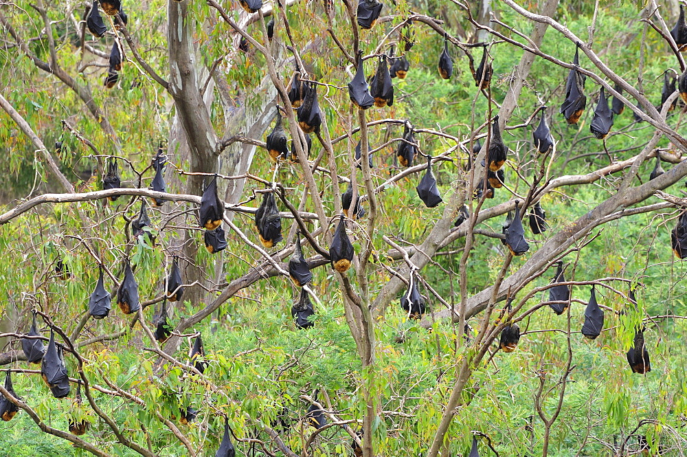 Flying foxes resting in tree, Yarra Bend Park, Melbourne, Victoria, Australia, Pacific