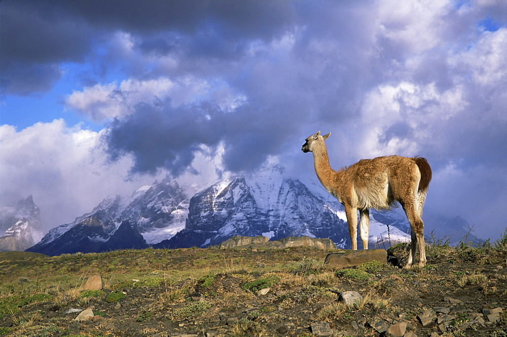 Guanaco (llama) and Cuernos del Paine, Torres del Paine National Park, Patagonia, Chile, South America - 756-177