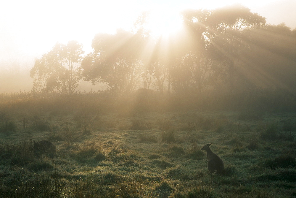 Eastern grey kangaroos, New South Wales, Australia, Pacific
