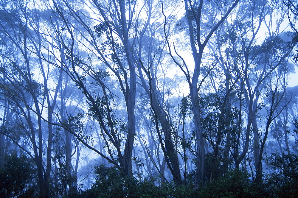 Eucalypts, New England National Park, New South Wales, Australia, Pacific - 756-211