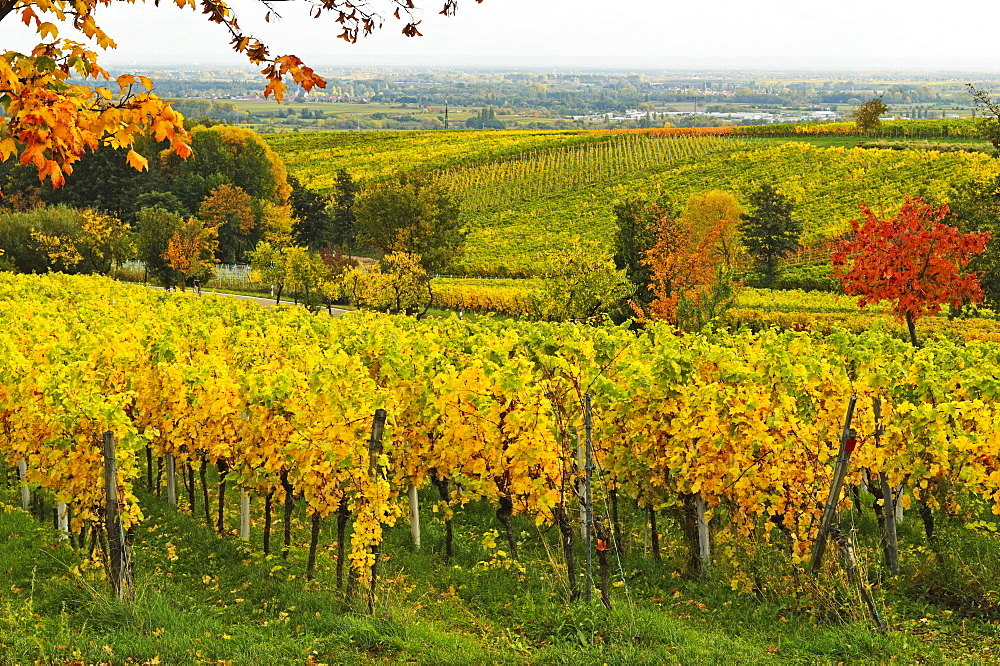 Vineyard landscape, near St. Martin, German Wine Route, Rhineland-Palatinate, Germany, Europe