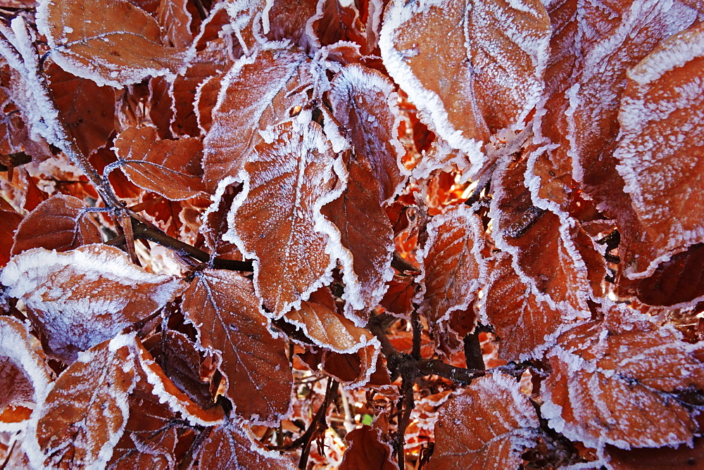 Beech leaves with hoar frost, Swabian Alb, Baden-Wurttemberg, Germany, Europe