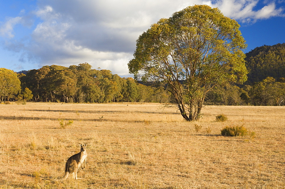 Eastern grey kangaroo, Kosciuszko National Park, New South Wales, Australia, Pacific