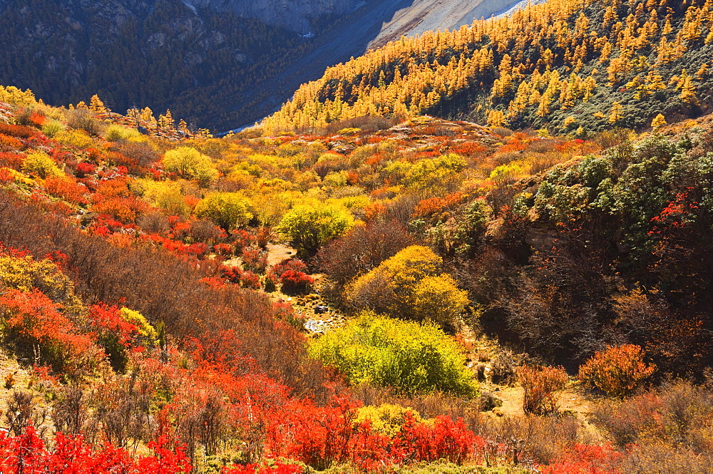 Autumn colours, Yading Nature Reserve, Sichuan Province, China, Asia - 756-556