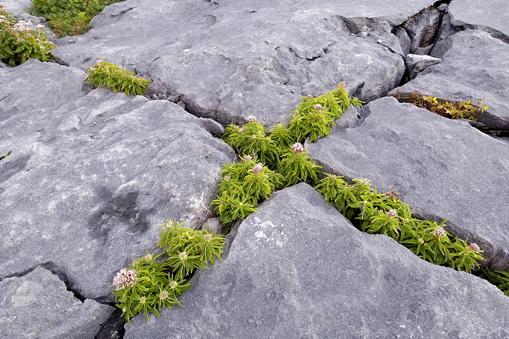 Plants growing amongst the limestone pavement, The Burren, County Clare, Munster, Republic of Ireland, Europe
