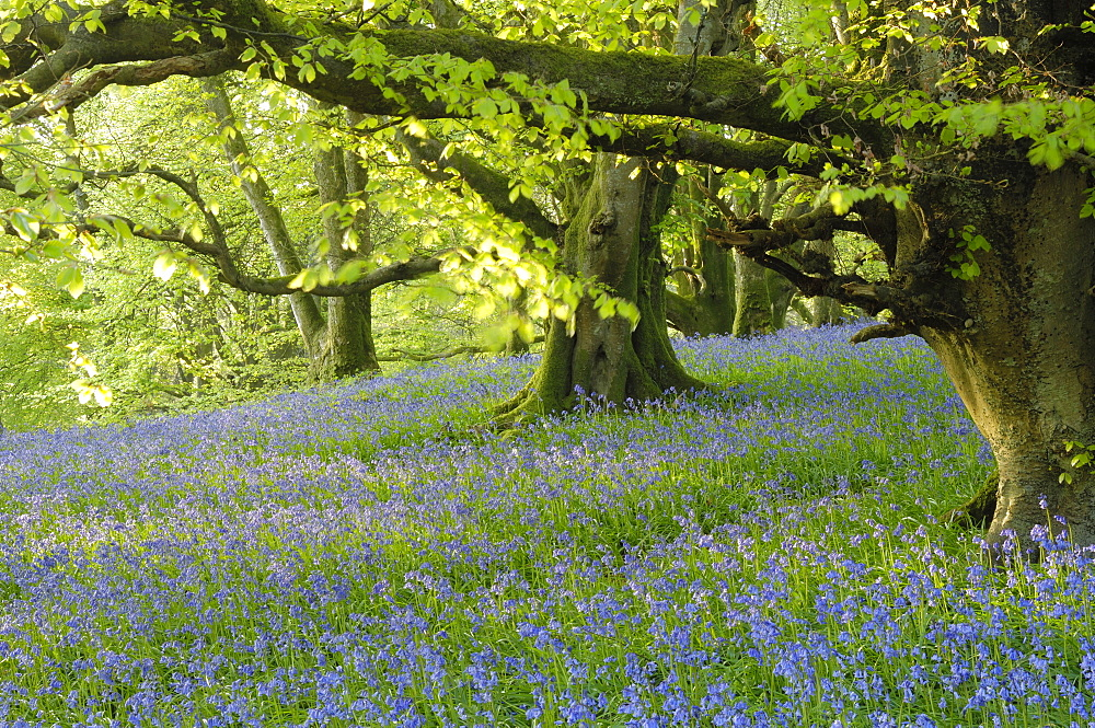 Bluebells in Carstramon Wood, Fleet Valley, near Gatehouse of Fleet, Dumfries and Galloway, Scotland, United Kingdom, Europe