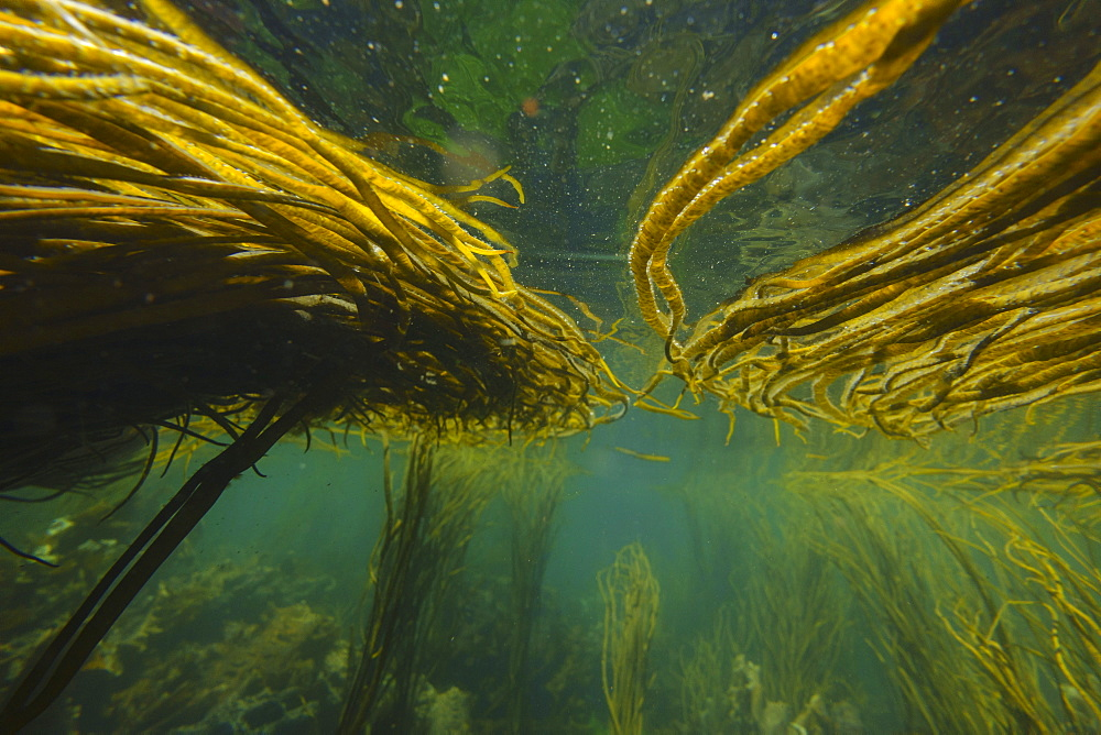 Underwater image of seaweed, Inner Hebrides, Scotland, United Kingdom, Europe - 762-798