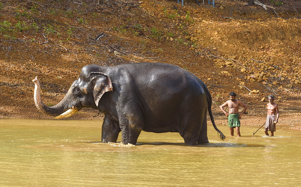 Washing the elephants at Kottoor Kappukadu Elephant rehabilitation centre, Kerala, India, South Asia