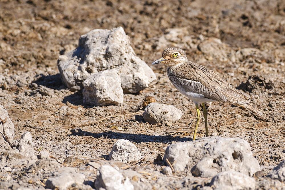 Water Thick-knee (Burhinus vermiculatus), Makgadikgadi Pans National Park, Kalahari, Botswana, Africa - 762-862