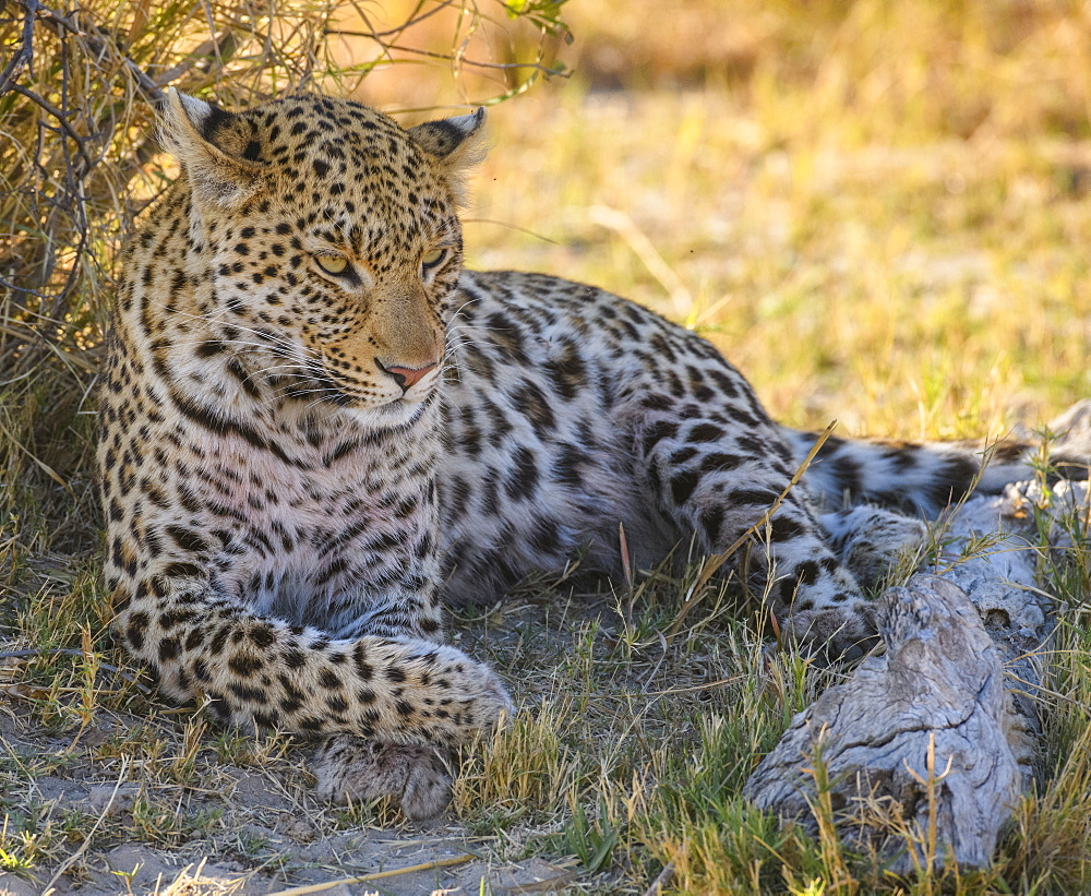 Female Leopard (Panthera pardus), resting in the shade of a tree, Bushman Plains, Okavango Delta, Botswana, Africa