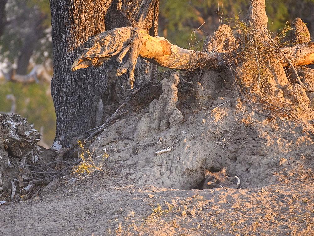 Common Warthog (Phacochoerus africanus), emerging from its den, Bushman Plains, Okavango Delta, Botswana, Africa