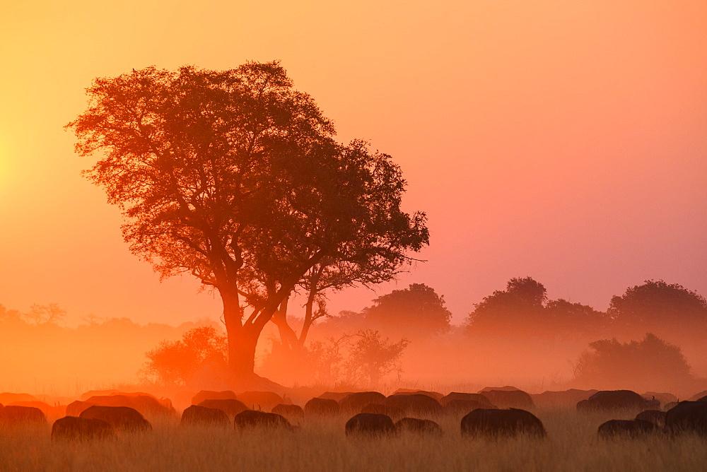 African buffalo (Cape Buffalo) (Syncerus caffer) at sunset, Bushman Plains, Okavango Delta, Botswana, Africa