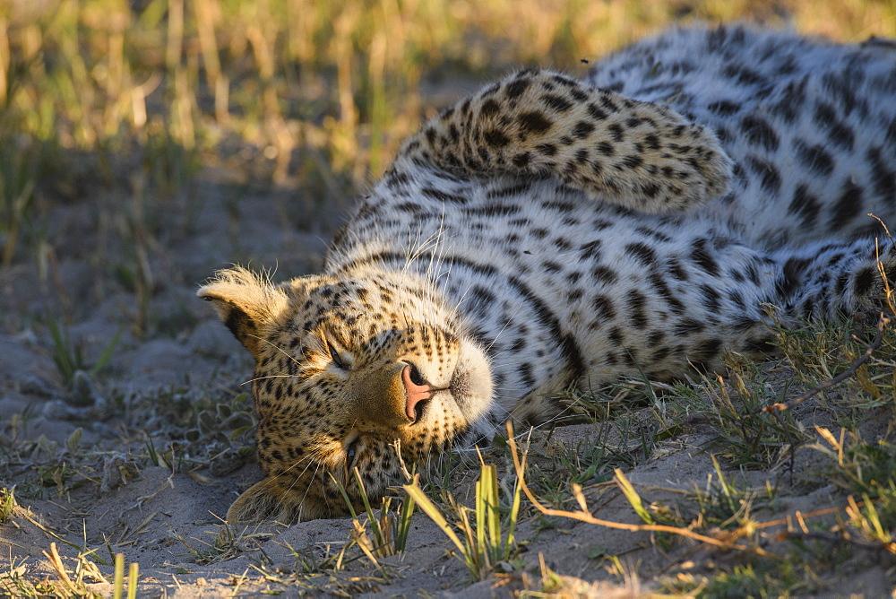 Female Leopard (Panthera pardus), Bushman Plains, Okavango Delta, Botswana, Africa