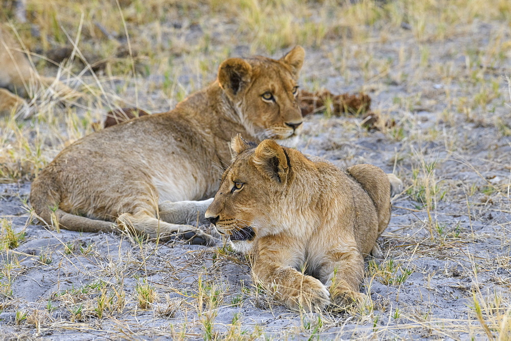 Young Lion cubs (Panthera leo), about 6 months old, Khwai Private Reserve, Okavango Delta, Botswana, Africa