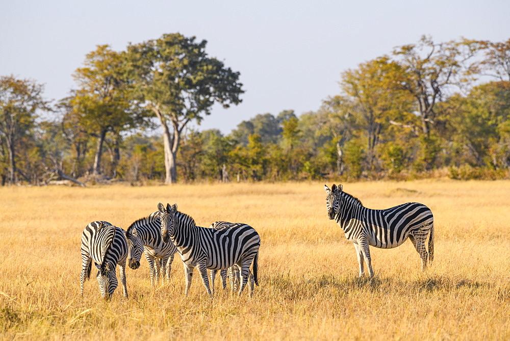Burchell's zebra (Plains zebra) (Common zebra) (Equus quagga burchellii), Khwai Private Reserve, Okavango Delta, Botswana, Africa