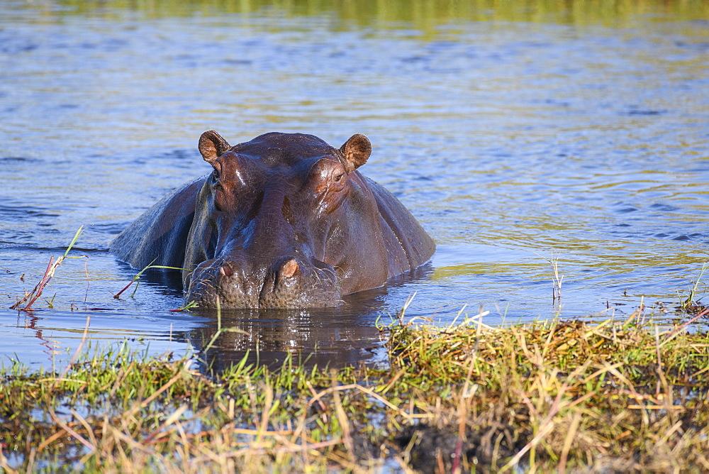 Hippopotamus (Hippopotamus amphibius), Khwai Private Reserve, Okavango Delta, Botswana, Africa