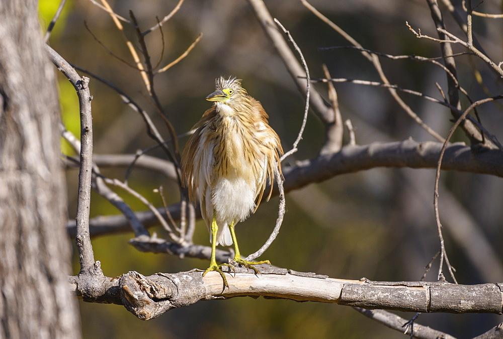 Squacco Heron (Ardeola ralloides) in a tree, Khwai Private Reserve, Okavango Delta, Botswana, Africa