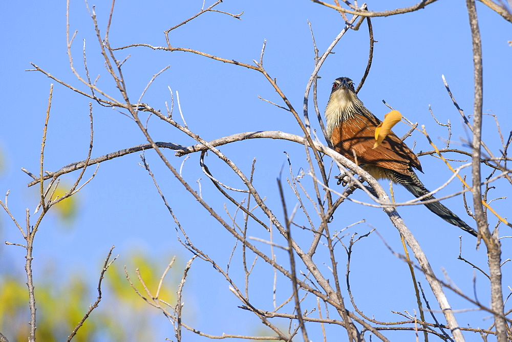 Coppery-tailed coucal (Centropus cupreicaudus), Khwai Private Reserve, Okavango Delta, Botswana, Africa
