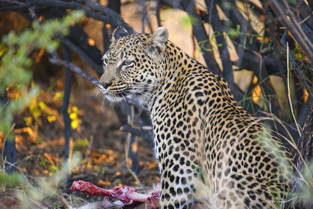 Leopard (Panthera pardus) at a kill, Khwai Private Reserve, Okavango Delta, Botswana, Africa