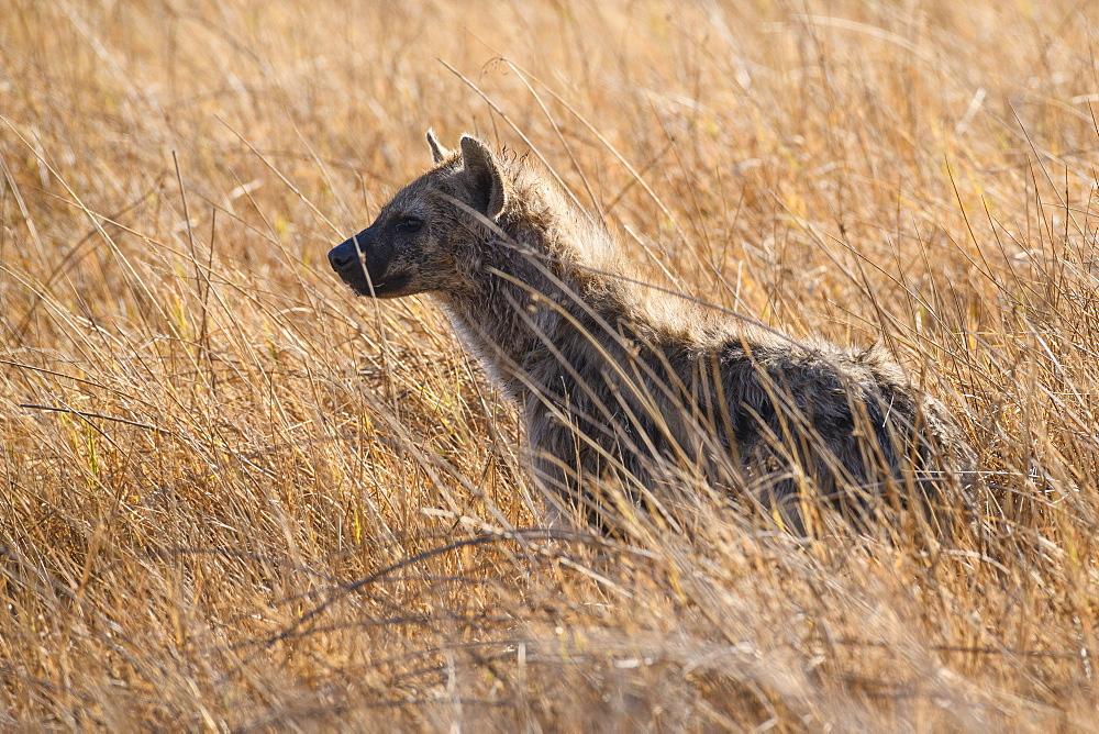 Spotted Hyena (Crocuta crocuta), Khwai Private Reserve, Okavango Delta, Botswana, Africa