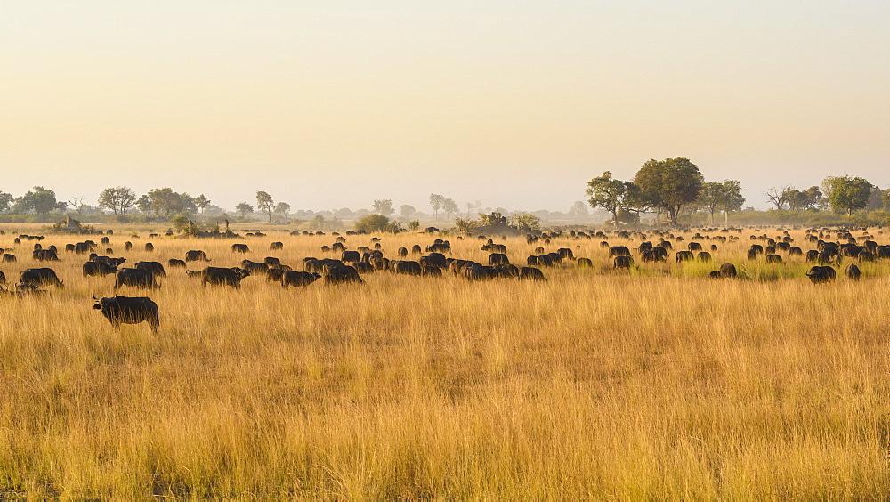 Herd of African buffalo (Cape Buffalo) (Syncerus caffer), Bushman Plains, Okavango Delta, Botswana, Africa
