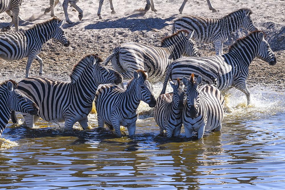 Burchell's zebra (Equus quagga burchellii) drinking in the Boteti River, Makgadikgadi Pans National Park, Kalahari, Botswana, Africa
