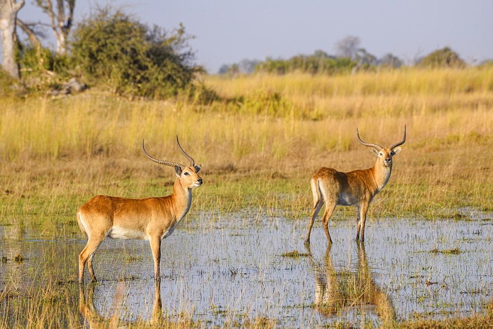Red Lechwe (Southern Lechwe) (Kobus leche), Bushman Plains, Okavango Delta, Botswana, Africa