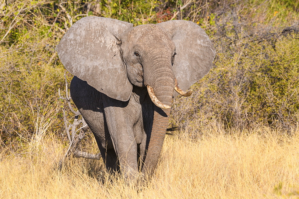 African Elephant (Loxodonta africana), Macatoo, Okavango Delta, Botswana, Africa